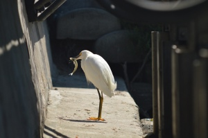 Krista - Snowy Egret with fish, Venice Canals