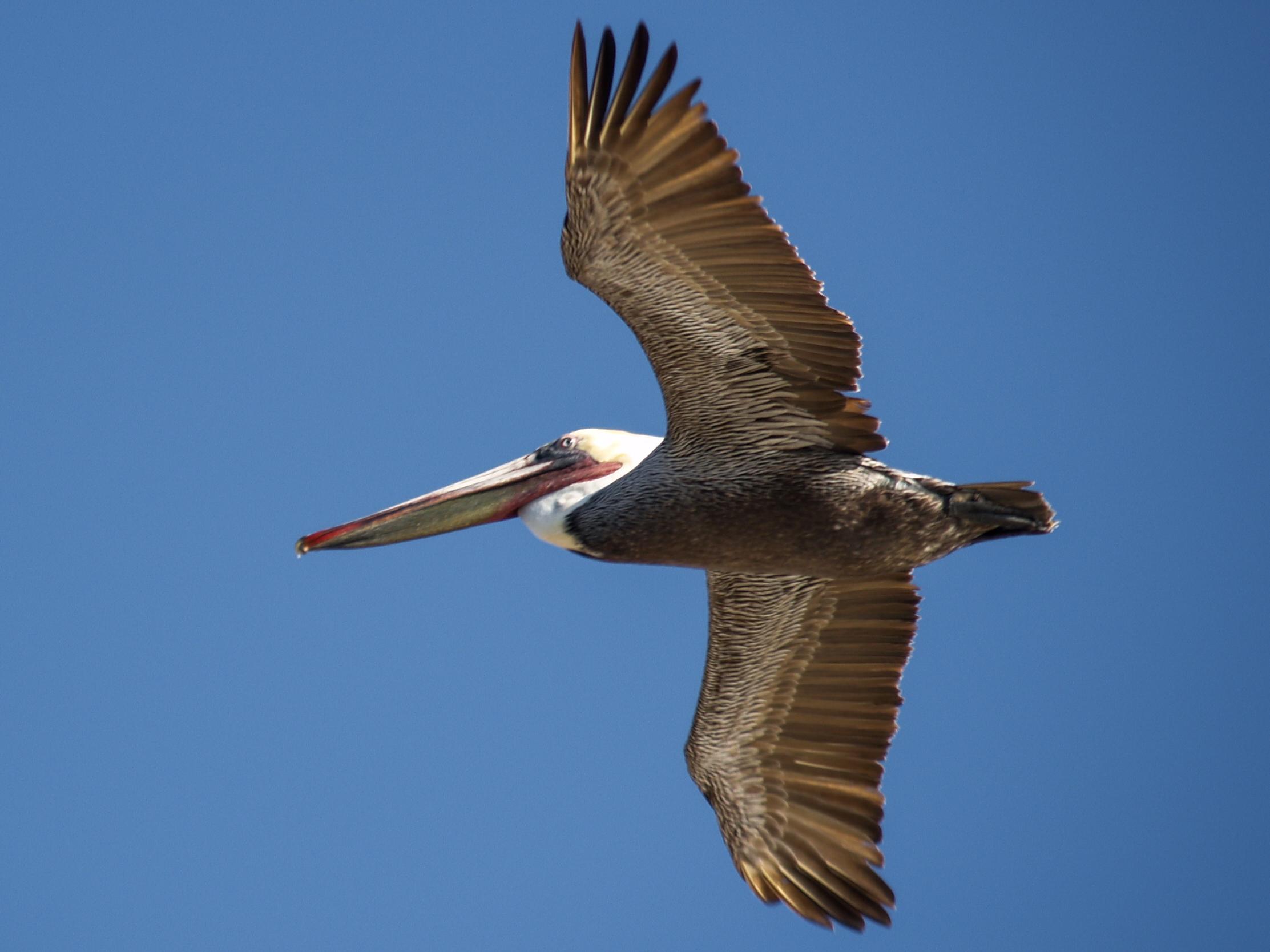 Bird Totems Of Venice The Pelican Free Venice Beachhead