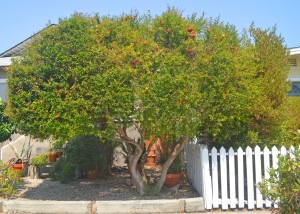 Pomegranate Tree  Along Market Avenue #2