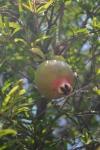 Pomegranates in Venice