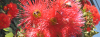 BEES_RED_GUM-1